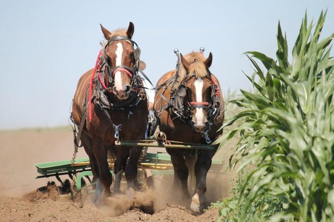 belgian-horses-1214507_1920
